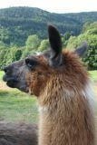 les-lamas-2-43999
